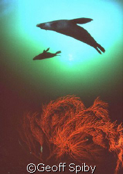 seals posing above a gorgonian fan, False Bay, Cape Town by Geoff Spiby 